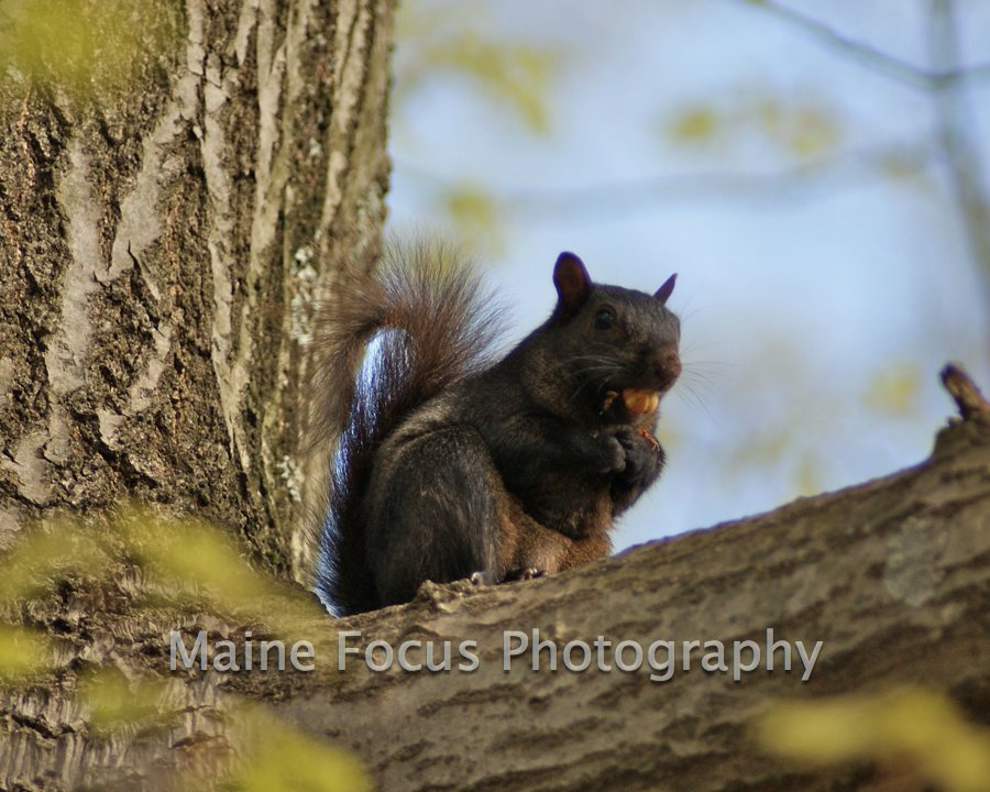 Black Squirrel 02