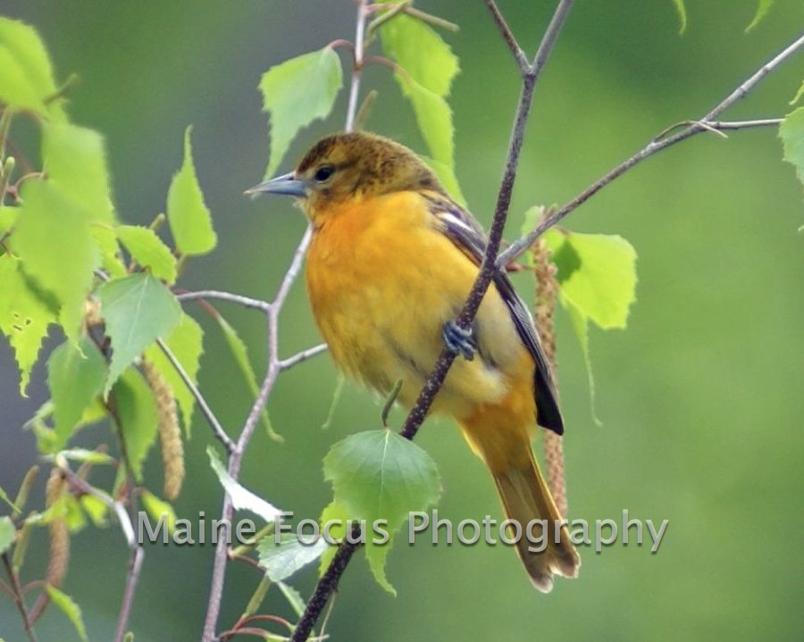 Female Oriole 01